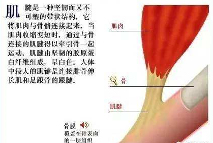 肌腱中的胶原蛋白.png